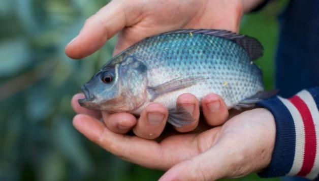 Aquaponics-farm-tilapia-fish