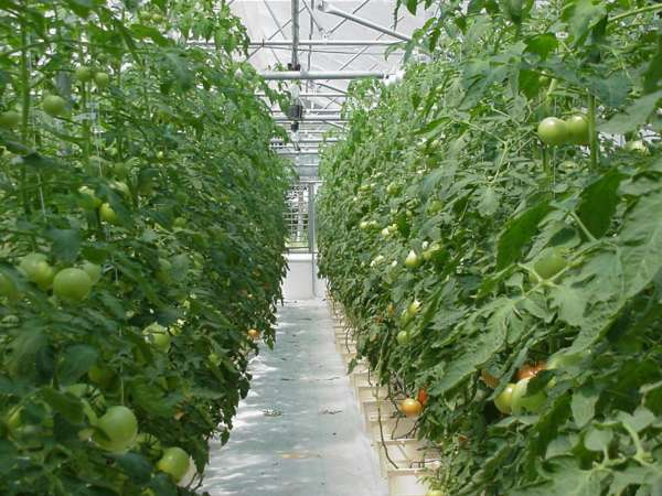 hydroponic-tomato-plants-university-of-ohio-hydroponic-crop-production