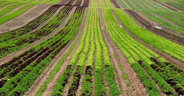 lettuce-farm-industrial-agriculture