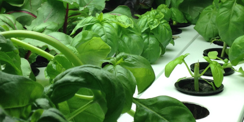 Veg-e-systems-basil-vertical-hydroponic-systems
