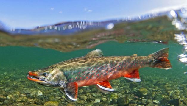 arctic-char-aquaponic-fish