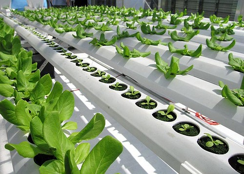 hydroponic-growing-conditions