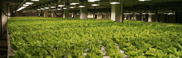 commercial-hydroponic-lettuce-farm