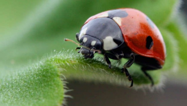 ladybug-prevent-pests-in-your-indoor-garden
