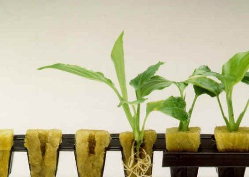 how-to-use-rockwool-hydroponic-gardening