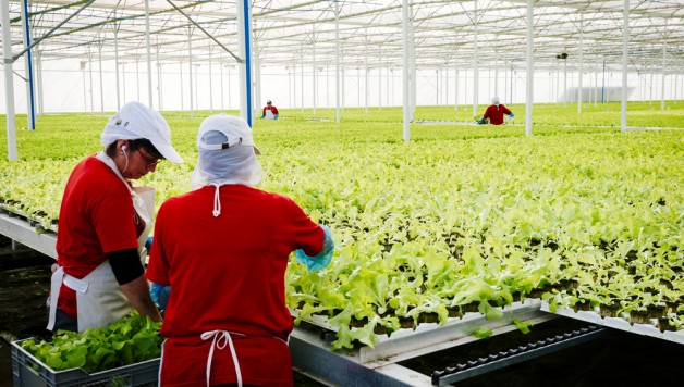 Hydroponic Farmers Maintain a Large Commercial Greenhouse